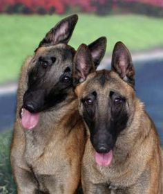 Google Image Result for http://www.wetnosespetphotography.com/Wholesale/MP1/images/Belgian%2520Malinois%25201.jpg