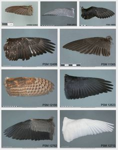 Types of bird wings hummingbird tern puffin eagle swallow owl raven heron swan Raven Wings, Owl Wings, Eagle Wings, Eagle Bird, Bald Eagle, Wing Anatomy, Types Of Wings, Wings Drawing, Bird People