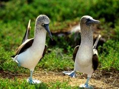 Blue footed Boobies!