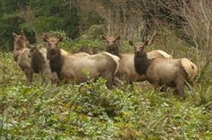 """6 cow elk, they mostly run in herds, love hay fields and no fence will keep them out. The cows have a hierarchy lead by a """"lead cow"""""""