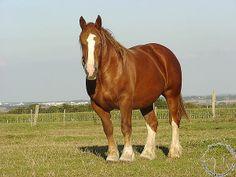 Breton Draft Horse