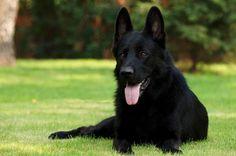 German Shepherd Puppies for sale in kansas