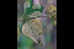 Fairbanks, AK - Amber-Marked Birch Leaf is an insect infestation affecting huge numbers of heat-stressed birch trees in Alaska...2013's long hot summer ended in a downpour, saving hundreds of thousands of trees.  What about this year, which has been even hotter?  Source:  http://www.adn.com/article/20141011/summer-heat-invasive-insects-take-toll-interior-alaska-birch-trees