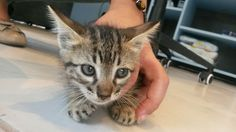 G.A.R.R.A. - Grupo de Ação, Resgate e Reabilitação Animal: ATENÇÃO - AJUDA URGENTE PARA FILHOTINHA DE GATO.