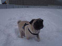 Snow Pug!