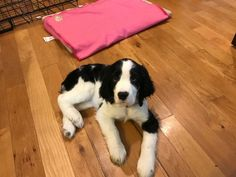How Lucky Am I, Dog Cookies, Puppies And Kitties, English Springer Spaniel, Spaniels, Animal Pictures, Adoption, Best Friends, Kitty