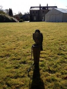 A Peregrine falcon on the front lawn