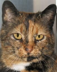 Jutta is an adoptable adult spayed female Domestic Short Hair cat in Jefferson, WI.
