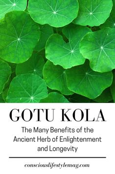 Referred to as the 'herb of longevity', the incredible health and brain boosting benefits of Gotu Kola make it one of the most revered plants worldwide. Healing Herbs, Holistic Healing, Medicinal Plants, Natural Healing, Gotu Kola Benefits, Herbal Remedies, Natural Remedies, Herbal Tea Benefits, Herbal Oil