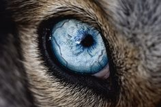 Eye of a Husky dog:  Most dogs, like this husky, are actually not completely color blind, but only lack the ability to see green. This results in a partial color blindness, which is compensated for by their incredible senses of hearing and smell.
