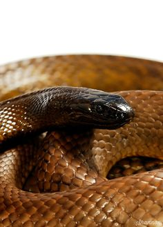 Inland Taipan (fierce snake) ~ Australia ~ the world's most poisonous land snake. Very shy and retiring, prefering to avoid confrontations but can deliver up to seven bites in a single attack. Pics Of Snakes, Inland Taipan, Red Tail Boa, Lizard Dragon, Poisonous Snakes, Largest Snake, Super Snake, Snake Venom, Snake Art
