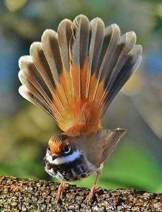 Solve Rufous Fantail jigsaw puzzle online with 88 pieces Small Birds, Little Birds, Colorful Birds, Big Bird, Pretty Birds, Beautiful Birds, Animals Beautiful, Beautiful Creatures, Rare Birds
