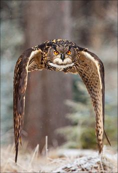 Bubo bubo, the Eurasian Eagle-owl, in a spectacular, photo: Robert Adamec. It is the sibling species to the Snowy Owl and is one of the largest owl species in the world. Because of its size and its strong flight patterns (which sometimes include soaring o...