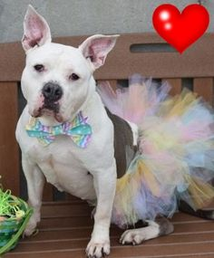 SAFE 3-18-2016 --- RETURNED 01/12/16 MOVEPRIVA --- SAFE 11-18-2015 LULU – A1058104 SPAYED FEMALE, WHITE / GRAY, STAFFORDSHIRE MIX, 3 yrs OWNER SUR – EVALUATE, NO HOLD Reason NO TIME Intake condition EXAM REQ Intake Date 11/16/2015 http://nycdogs.urgentpodr.org/lulu-a1058104/