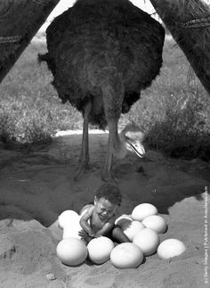 A baby sitting in a pile of Ostrich eggs. South Africa, 1939