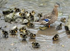 Now the luckiest ducklings in the world each get 23 brothers and sisters to hang with all the time. | 24 Mallard Ducklings AndCounting