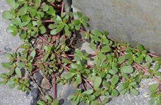 Pare de achar que ela é uma erva daninha - esta é uma das melhores plantas par. Good Sources Of Iron, Portulaca Oleracea, Grass Fed Beef, Edible Plants, Plantation, Cool Plants, Omega 3, Weed, Health Tips