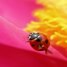ladybug wings   pollen on my wings - Bugs & Nature Background Wallpapers on Desktop ...