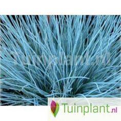 Zwenkgras (Festuca glauca 'Blauglut'/'Blue Glow') Herbs, Herb, Medicinal Plants