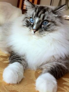 Maine Coon Kitty Have a look at the amazing ruff and giant paws on this kitty ! and Kittens