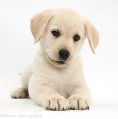 Yellow Labrador Retriever Puppy #Lab