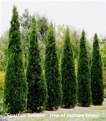 Dwarf Italian Cypress to replace those other tall terrible plants in the SE corner. (This pic is just to remind me since the link leads to regular sized Italian Cypress trees.