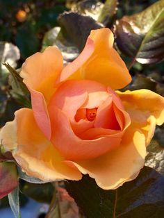 Розы в саду😊🌹🌹