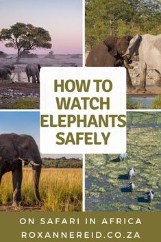 How do you stay safe while watching elephants on safari in Africa? Find out the basic rules of what to do or not to do. Uncover signs of elephant of aggression to look out for and what to do about them.