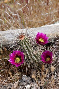 ferocactus gracilis coloratus cactus y suculentas. Black Bedroom Furniture Sets. Home Design Ideas