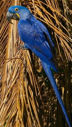 Hyacinth Macaw  is a parrot native to central and eastern South America. With a length from the top of its head to the tip of its long pointed tail of about 100 cm it is longer than any other species of parrot.          Habitat loss and trapping wild birds for the pet trade has taken a heavy toll on their population in the wild, and as a result the species is classified as Endangered