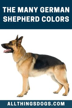 Loyal, obedient, protective, hard-working, intelligent and oh-so-loving – these are all great adjectives for a German Shepherd dog. But did you know that there are 13 German Shepherd Colors. Read on to find out which are they. Blue German Shepherd Puppies, Silver Sable German Shepherd, Silver German Shepherd, German Shepherd Colors, German Shepherd Breeds, German Dogs, German Shepherds, Black Puppy, Different Dogs