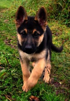 German Shepherd Puppies Check out all kinds of cool dog stuff More