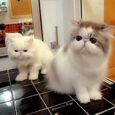 """""""Two cats can live as cheaply as one, and their owner has twice as much fun."""" --Lloyd Alexander"""