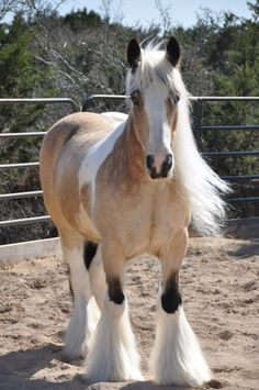 This little Gypsy mare is beyond perfect.  Buttermilk buckskin, black points, long flowing mane.