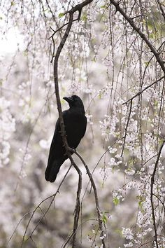 crow and sakura