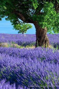 Lavenderfields,Provence,France