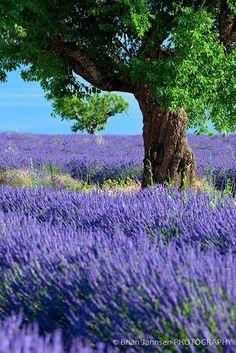 Lavenderfields,Provence,France