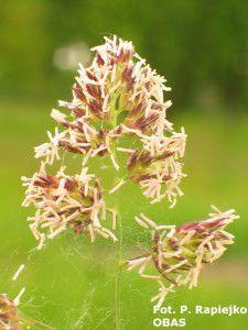 Kupkówka pospolita (Dactylis glomerata) - czerwiec