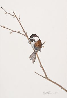 Saw this at the Museum of Natural History, Science Illustration exhibit. Beautiful. Chestnutbacked Chickadee 5  Limited Edition by thenaturalline, $55.00