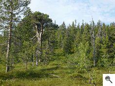 Bosque de coníferas o taiga (clima continental) Las coníferas son árboles capaces de soportar las bajas temperaturas invernales por la estructura de sus ...