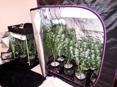 Growing Weed Indoors, Growing Greens, Growing Herbs, Cannabis Plant, Hydroponic Grow Systems, Glass Pipes And Bongs, Organic Nutrients, Grow Room, Ganja