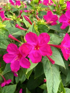 Mirabilis jalapa: marvel of Peru, four o'clock flower, tea-time plant It's been an extraordinary weekend for gardening. Portulaca Flowers, Hollyhocks Flowers, Planting Flowers, Candy Flowers, Flowers Gif, Botanical Flowers, Tropical Flowers, Amazing Flowers, Beautiful Flowers