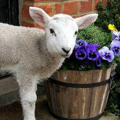 Lamb Chops, Sheep, Goats, Lambs, Cute, Kids, Animals, Heavenly, Easter