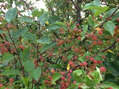 crabapple sprays in september