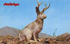 The Mythical Jackalope - Popular in the Southwestern U.S.