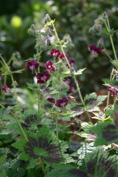 Geranium phaeum 'Samobor' (winterhart): Green-purple foliage with tiny deep purple flowers from May-June. Best in semi-shade in every kind of soil - tolerant of moist conditions. Planting Flowers, Pretty Plants, Scent Garden, Geraniums, Hardy Geranium, Perennials, Geranium Phaeum, Trees To Plant, Shade Plants