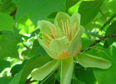 le tulipier de Virginie