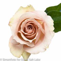 """""""Quicksand"""" cream caramel rose"""