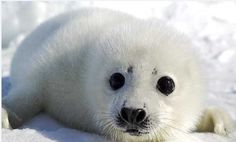 Baby seal in the snow!