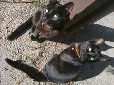 Cats black gatos nice